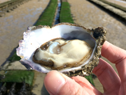 The Discovery of Oyster Farms in France